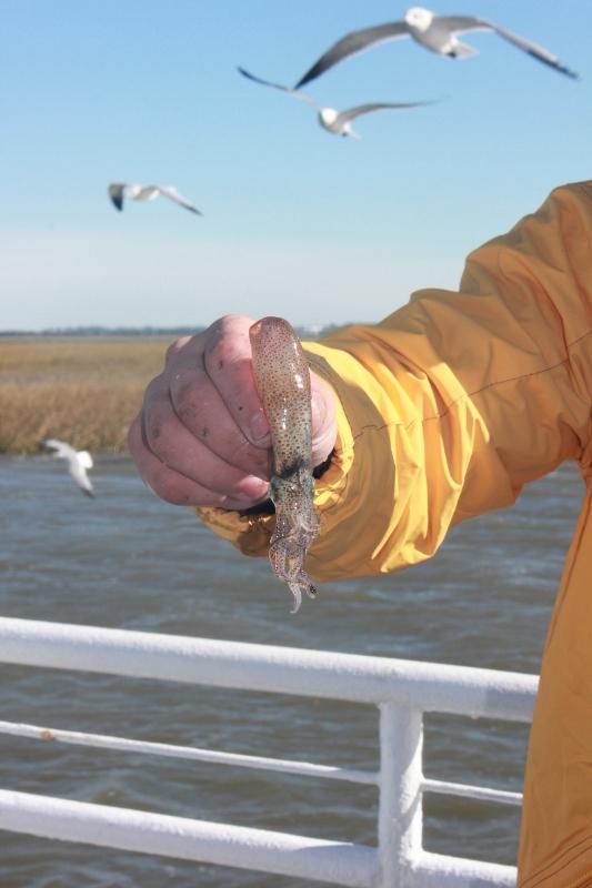 Squid Caught While Shrimping