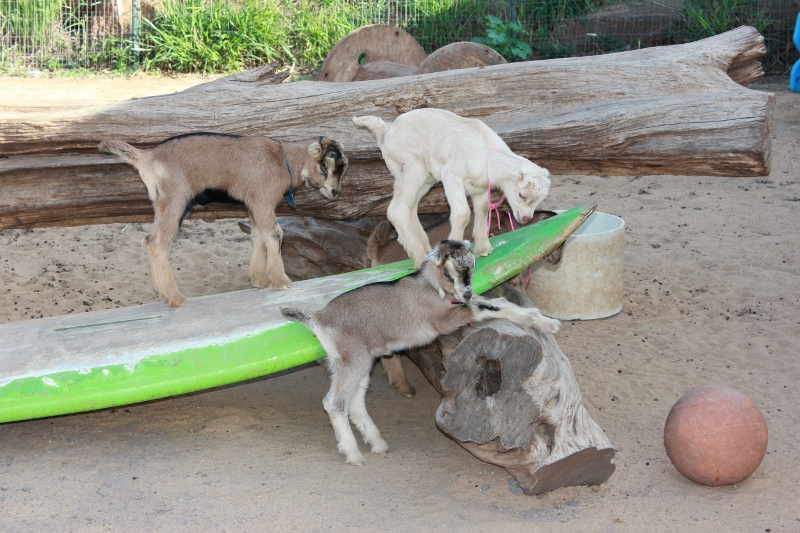 Baby Goats at Surfing Goat Dairy