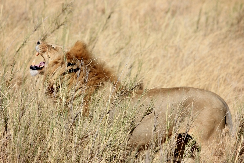 Big 5 Roaring Lion on Safari