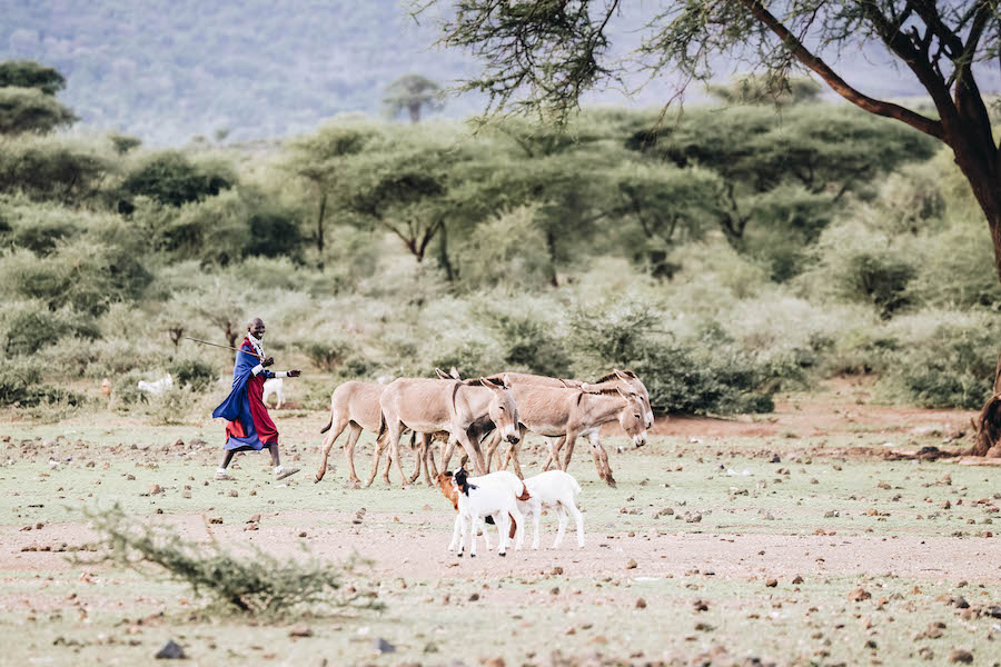 Maasai Tribe People with their cattle and animals