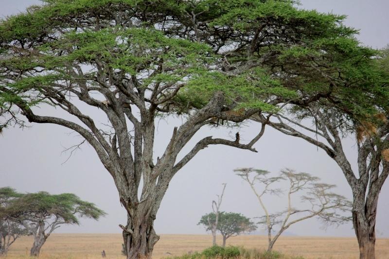 Serengeti African Safari