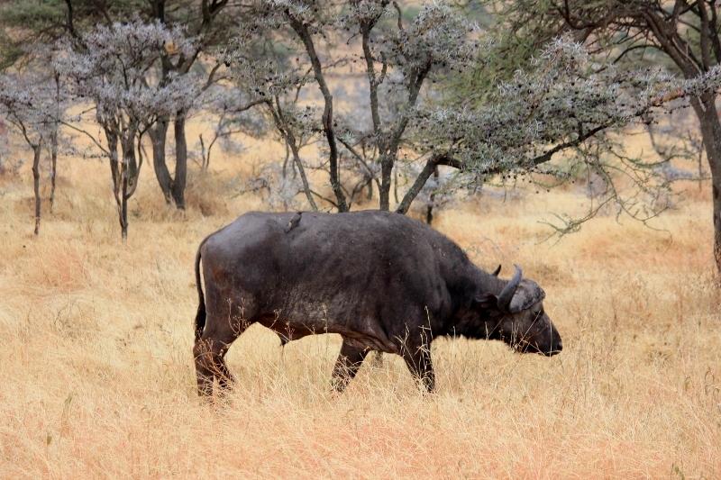 Cape Buffalo - Big Five African Safari