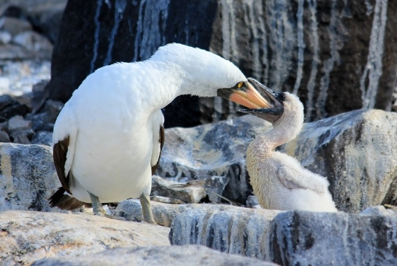 Nazca Booby in the Galapagos Islands
