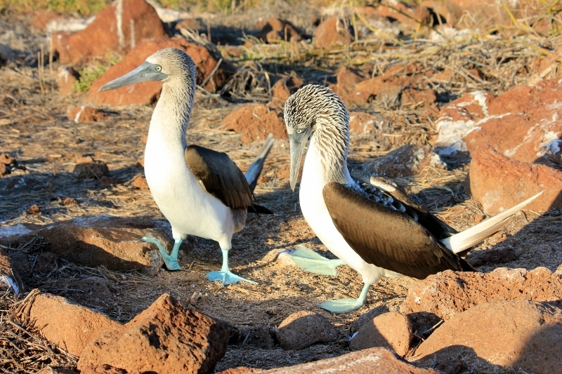 Blue-Footed Booby Bird Mating Dance in Galapagos Islands