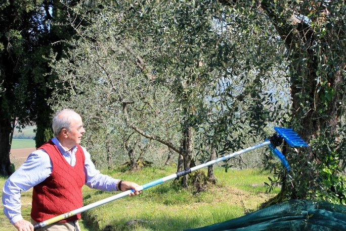 Olive Picking in Tuscany Italy