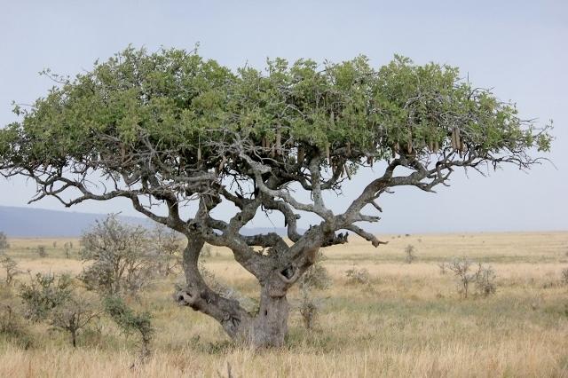 Sausage Tree in Tanzania, Africa