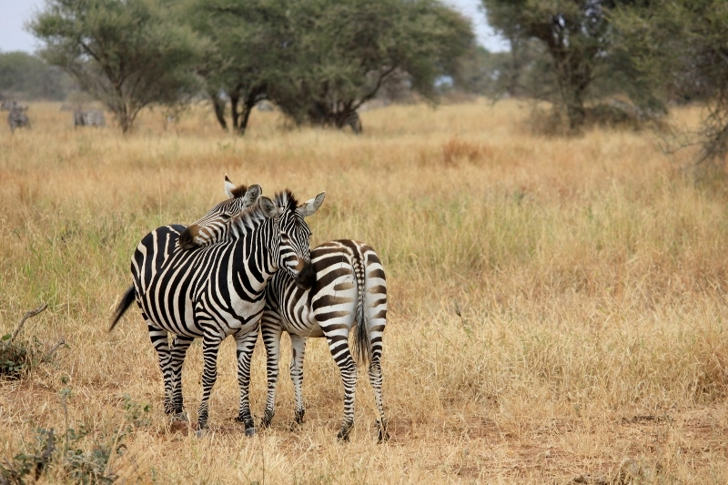 Hugging Zebra on African Safari in Tanzania