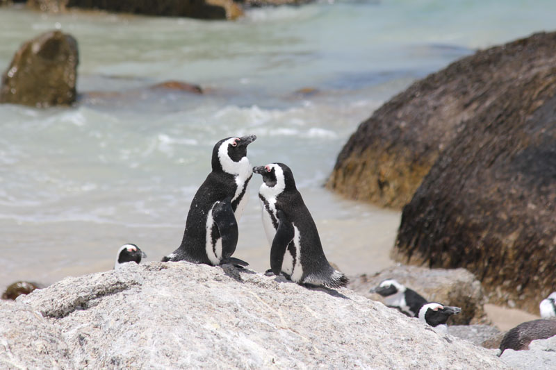 African Penguins in Cape Town