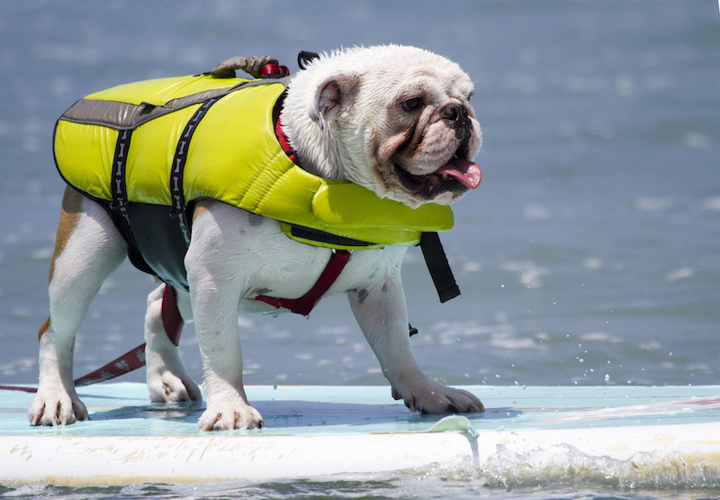 Paddle Board: Dog Bucket List: 22 Fun Things to do With Your Furry Pet