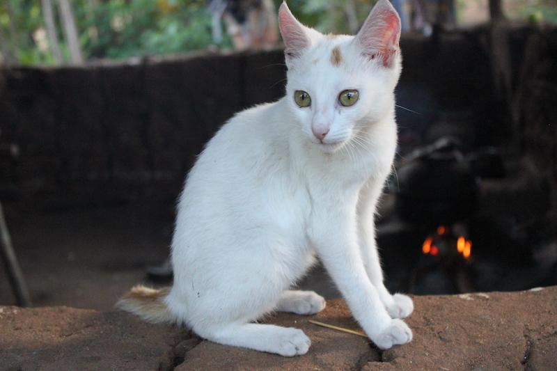 A cat on the Hiriwaduna Village Trek in Sri Lanka