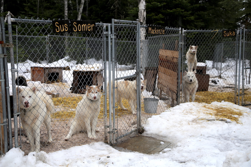 The Dogs of Base Camp Bigfork Dogsledding