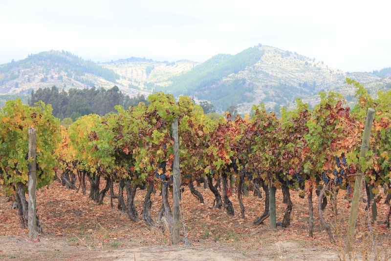 The vineyard of Chile