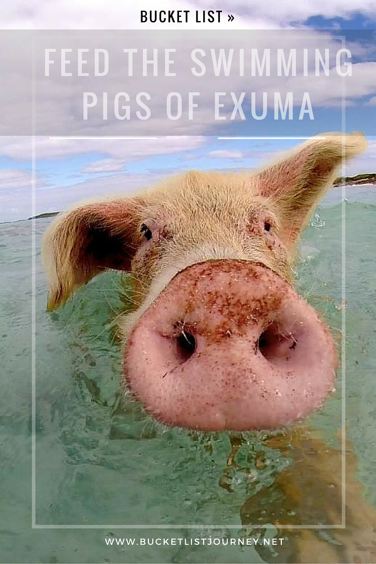 Bucket List: Feed the Swimming Pigs of Exuma