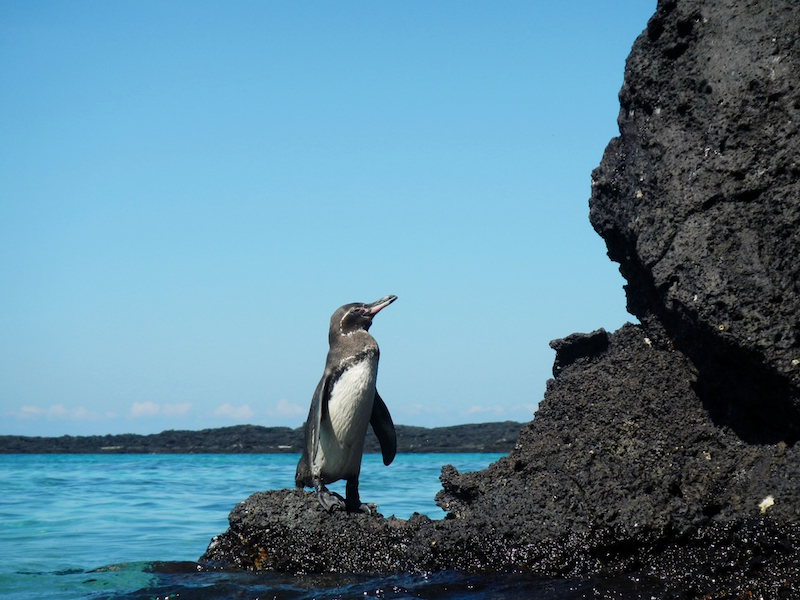 A penguin perched on a lava rock in the Galapagos Islands in South America