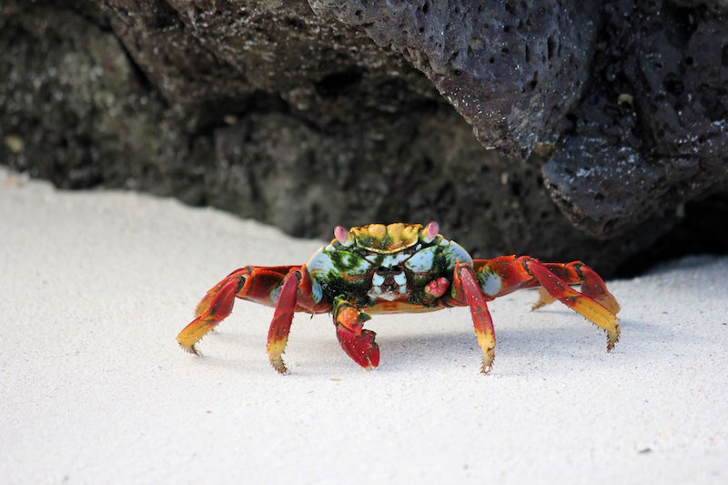 Sally Lightfoot Crab in Galapagos Islands in South America