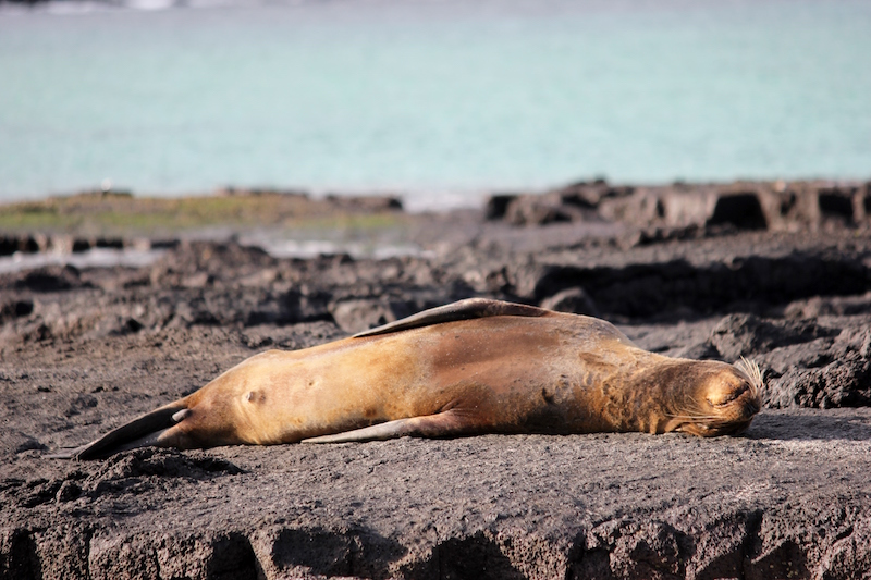 a tired seas lion in the Galapagos Islands