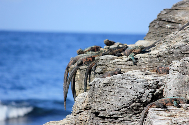 Iguana tails hanging off a rock in the Galapagos Islands