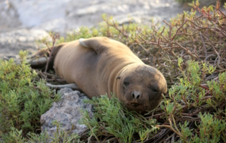A lazy baby sea lion in the Galapagos Islands in South America