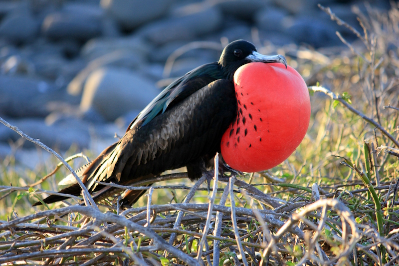 Frigate bird in the Galapagos Islands in South America