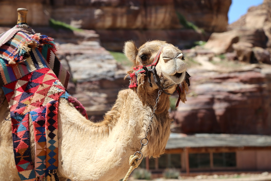 Camel at Petra Archaeological Site in Jordan