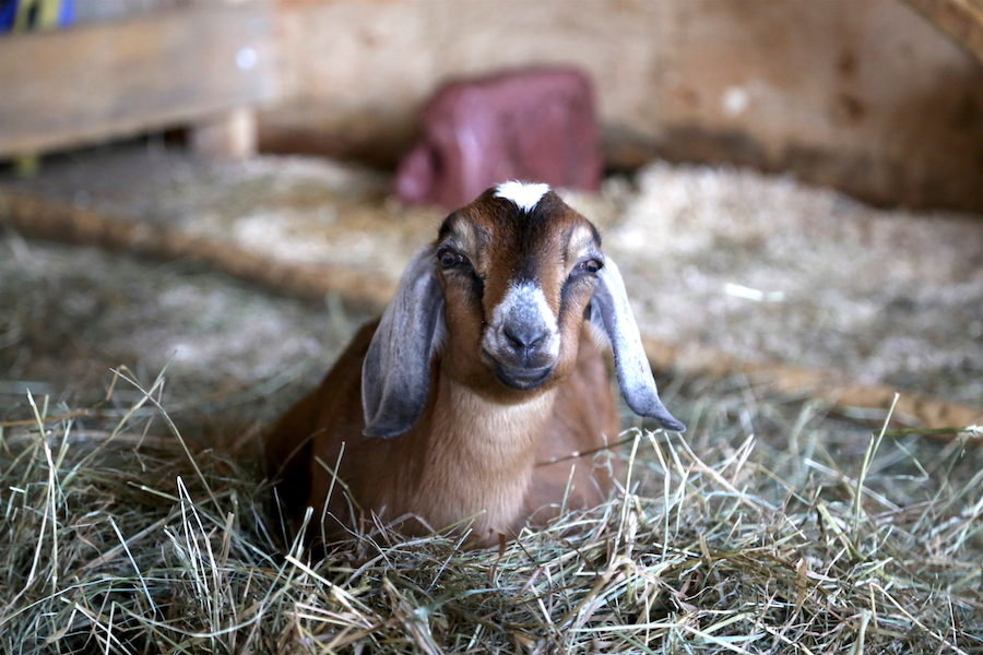 A cute goat at the Groovy Goat Farm: Canada's Cape Breton Island: 9 Best Stops While Driving the Cabot Trail in Nova Scotia