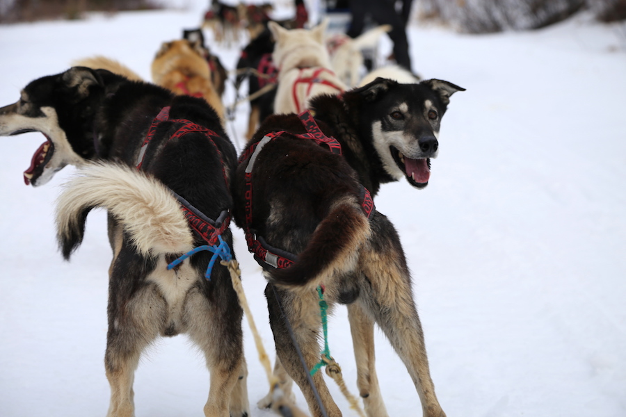 Dogsledding the Absaroka mountains in Yellowstone Country of Montana