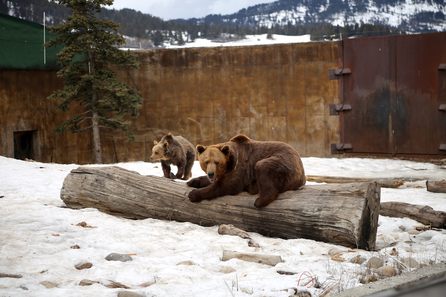 The Grizzly Encounter in Yellowstone Country of Montana