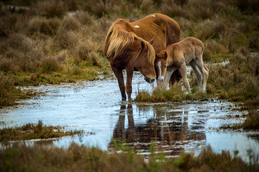 Chincoteague Ponies on the Eastern Shore of Virginia