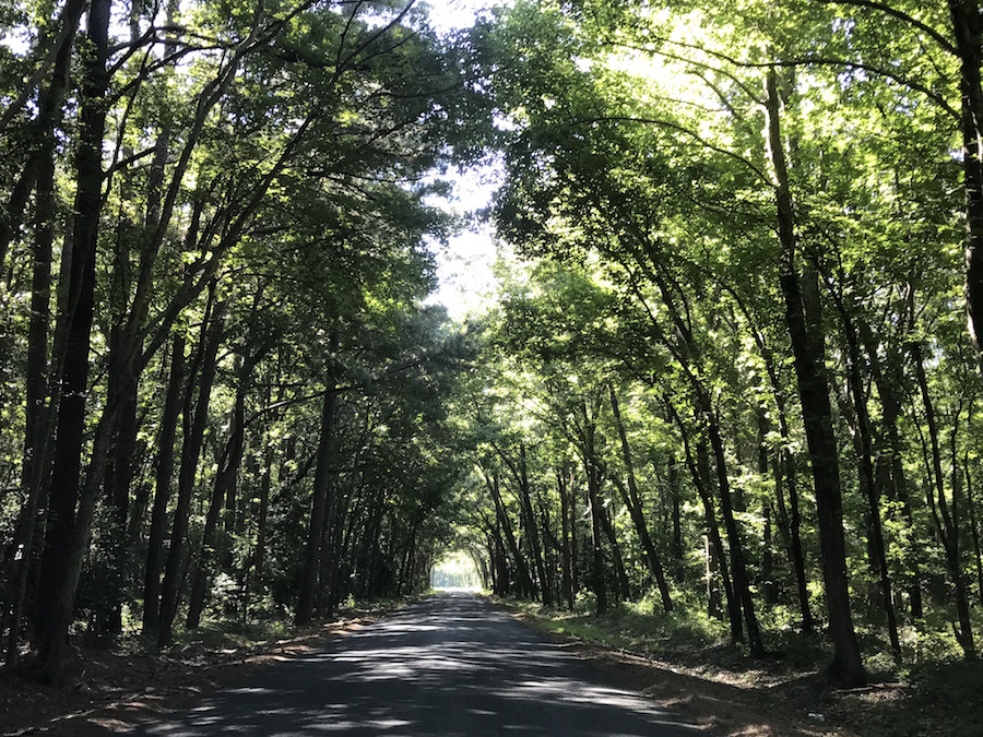 A tree tunnel in the Eastern Shore of Virginia