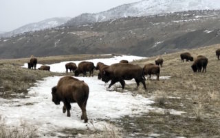 The Bison at Yellowstone National Park in Montana