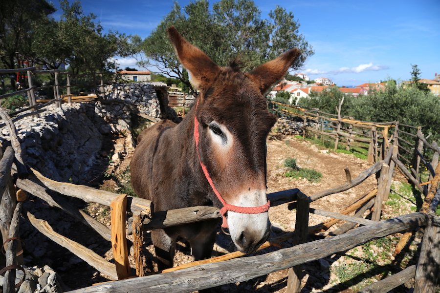 The donkey at the Losinj Herb Garden