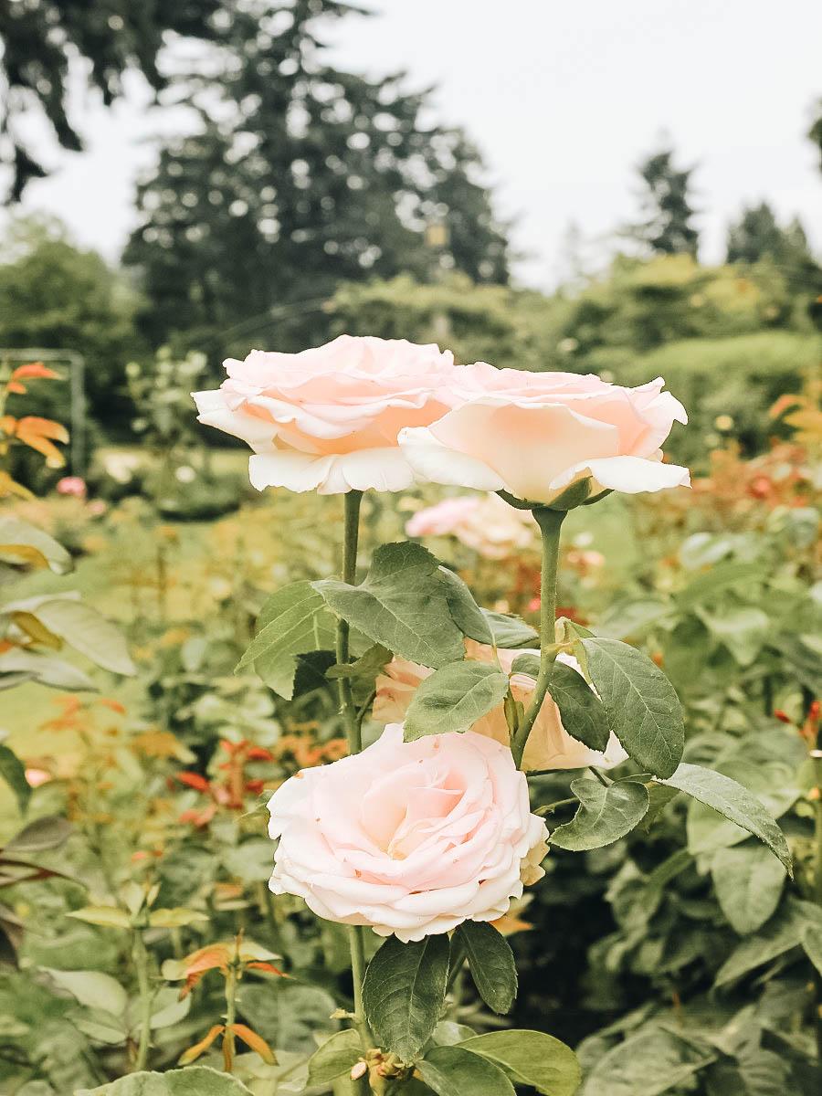 A beautiful pink rose at International Rose Test Garden Portland