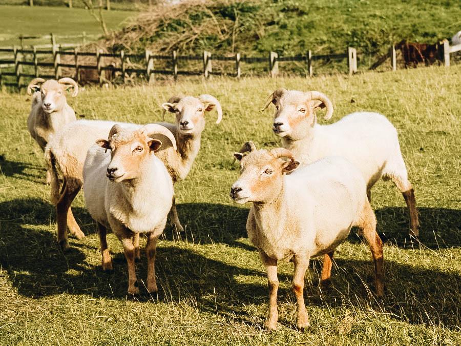 Belmont Goats in Portland