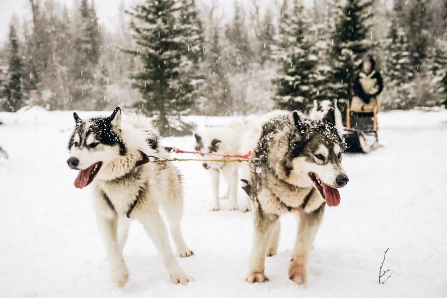 Dogsledding in Bigfork Montana