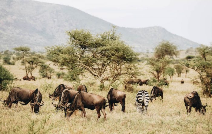 On safari at the Four Seasons Lodge in Serengeti National Park