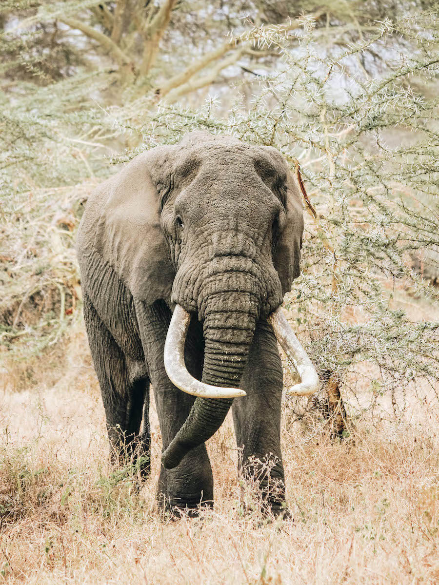 African Elephant in Tanzania Africa