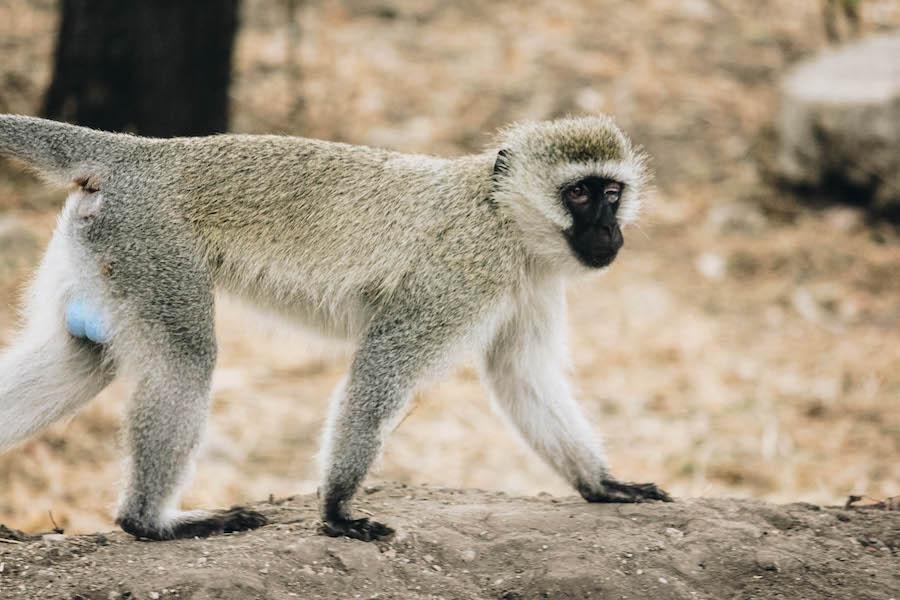 Velvet Monkey safari animal in Tanzania