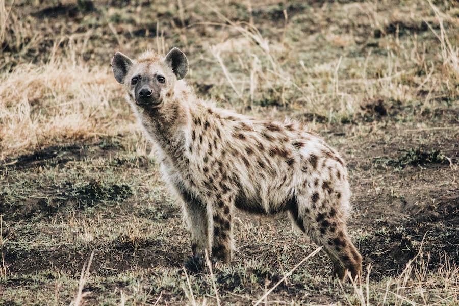 African Safari Animal: Hyena