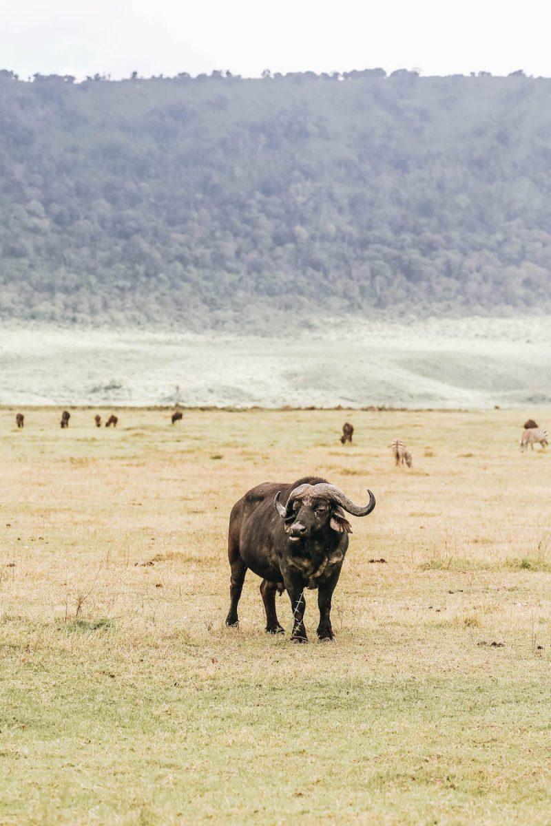 African Cape Buffalo on Safari in Tanzania