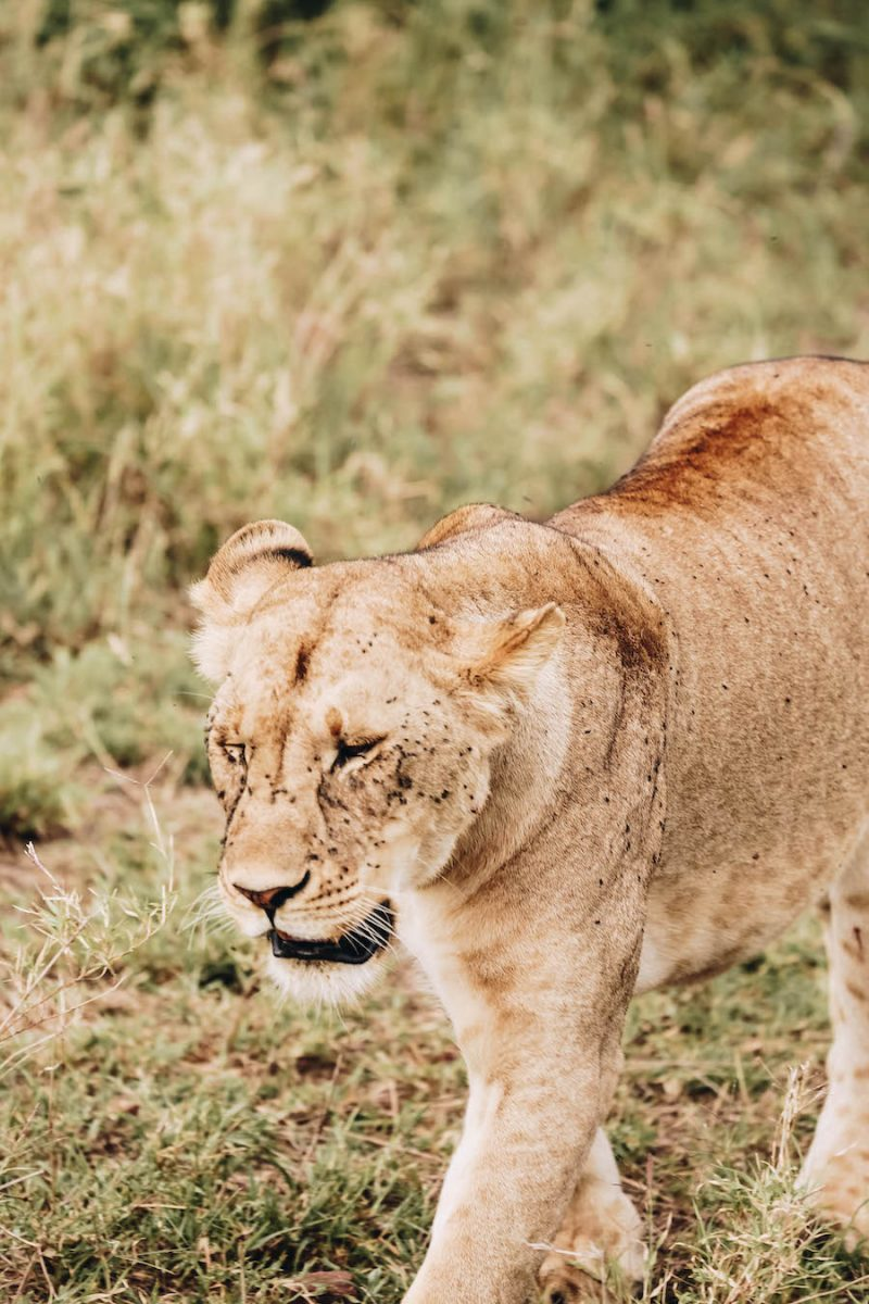 Wild Safari Animal List: Lion