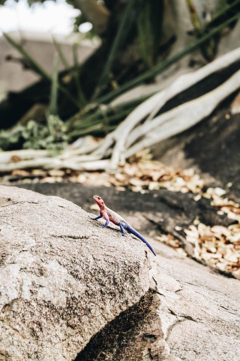 Agama Lizard in Africa