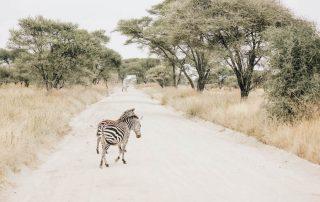 Zebras in Tarangire Park in Tanzania Africa