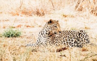 A leopard sitting in the middle of Safari