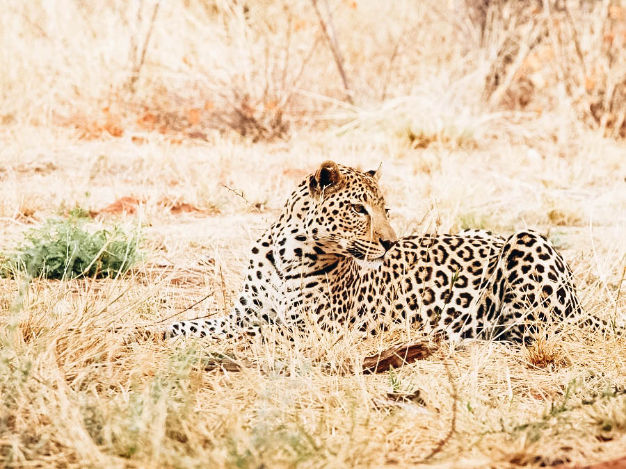 Big Five leopard sitting in the middle of Safari