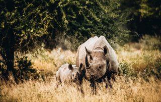 Rhinos in the middle of Safari