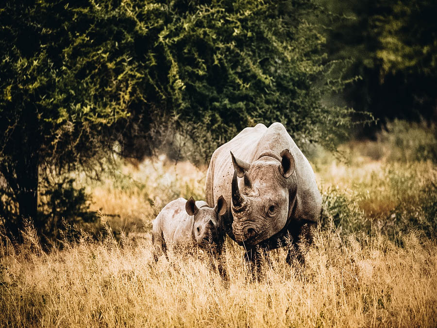 Rhinos in the middle of African Safari