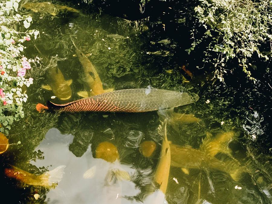 Arapaimas on the water