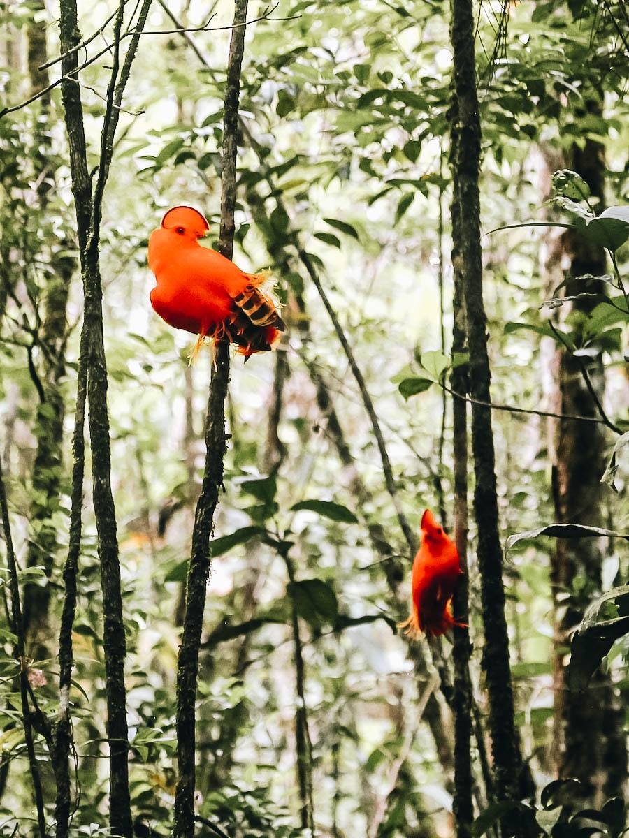 Red birds found while doing bird watching