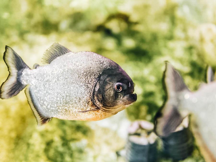 A picture of a piranha