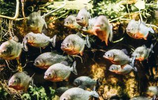 Shoal of piranhas